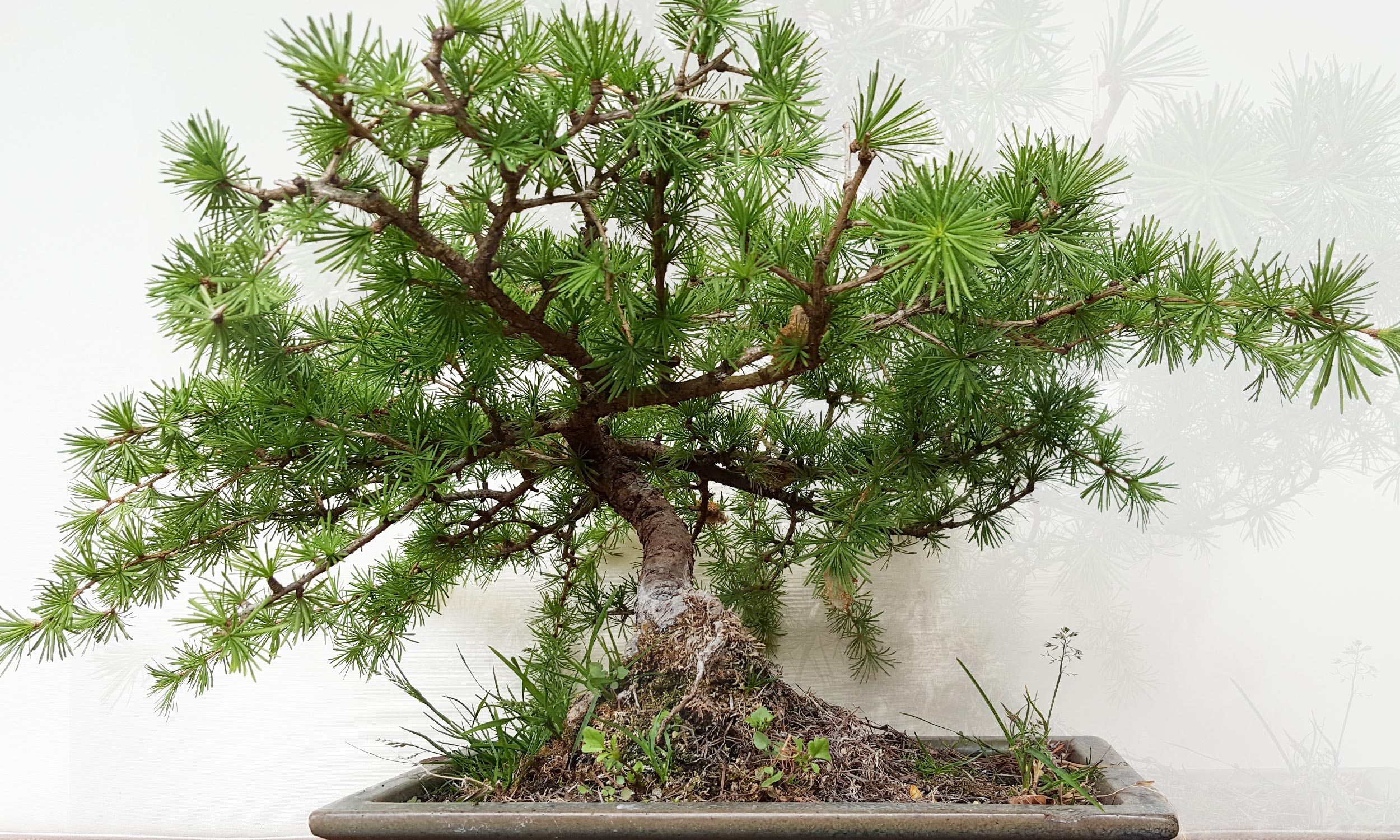 Slide_Exklusiv_Bonsai_2