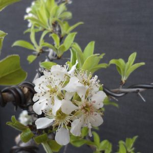 Birnenblüte und Neuaustrieb