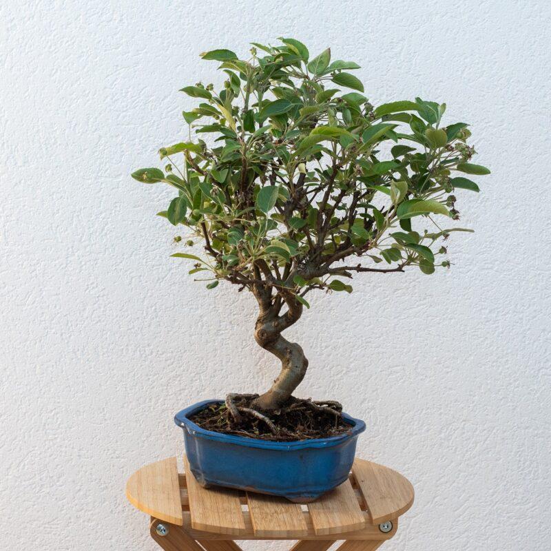 Apfel Bonsai